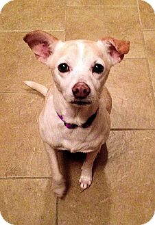 Chihuahua/Terrier (Unknown Type, Medium) Mix Dog for adoption in Hagerstown, Maryland - Trinket