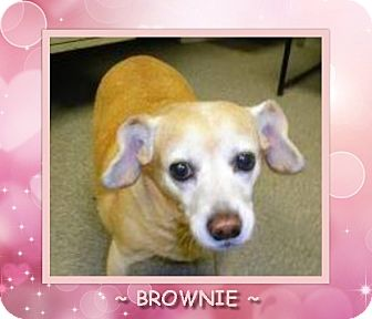 Beagle/Terrier (Unknown Type, Small) Mix Dog for adoption in Dallas, North Carolina - BROWNIE