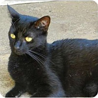 Domestic Shorthair Cat for adoption in Makawao, Hawaii - Bright Eyes