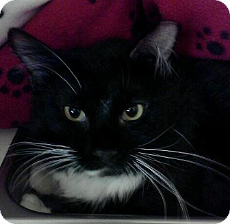 Domestic Longhair Cat for adoption in McHenry, Illinois - Harry