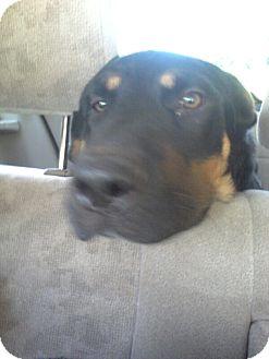Rottweiler/Shar Pei Mix Puppy for adoption in Warwick, Rhode Island - Diego