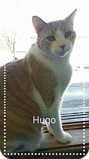 Domestic Shorthair Cat for adoption in West Des Moines, Iowa - Hugo