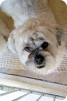 Lhasa Apso/Poodle (Miniature) Mix Dog for adoption in Winnetka, California - OLIVER