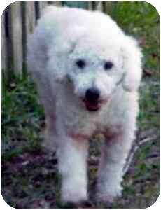 Miniature Poodle Dog for adoption in Melbourne, Florida - ARCHIE