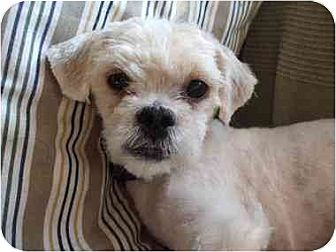 Shih Tzu Mix Dog for adoption in Kirkland, Quebec - Sacha