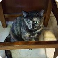 Domestic Shorthair Cat for adoption in Berkeley Hts, New Jersey - Dottie