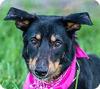 German Shepherd Dog/Border Collie Mix Dog for adoption in Maquoketa, Iowa - Gina