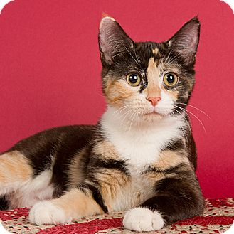 Calico Cat for adoption in Wilmington, Delaware - Kalamata