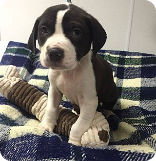 Pit Bull Terrier Mix Puppy for adoption in Burgaw, North Carolina - Ralphie