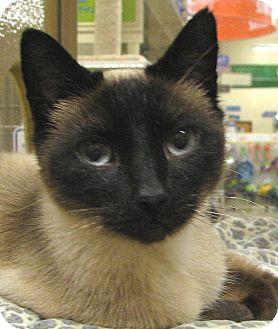 Siamese Cat for adoption in Tulsa, Oklahoma - Lizette
