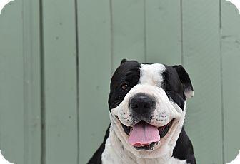 Shar Pei/American Bulldog Mix Dog for adoption in San Diego, California - Violet