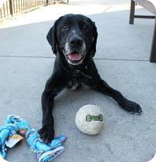Great Dane/Labrador Retriever Mix Dog for adoption in Yukon, Oklahoma - Moonstar