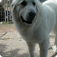 Great Pyrenees Dog for adoption in Austin, Texas - LuLu