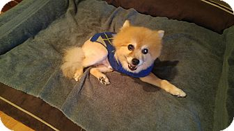 Pomeranian Mix Dog for adoption in LAKEWOOD, California - Matty