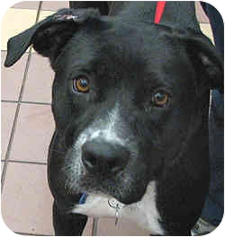 Labrador Retriever Mix Dog for adoption in Port Washington, New York - Mickey