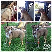 Adopt A Pet :: Adelaide - Naples, FL