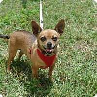 Chihuahua Dog for adoption in Ashburn, Virginia - GiGi