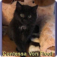 Adopt A Pet :: Contessa Von Floof - Aldie, VA