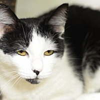 Domestic Shorthair Cat for adoption in Atlanta, Georgia - Mrs. Spittles	170422