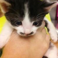 Adopt A Pet :: Tiki - Savannah, TN
