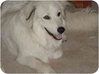 Great Pyrenees Dog for adoption in Kyle, Texas - Shiloh