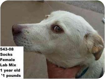 Labrador Retriever Mix Dog for adoption in Zanesville, Ohio - Socks - RESCUED!
