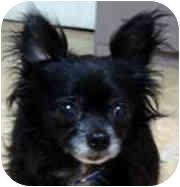 Pomeranian/Papillon Mix Dog for adoption in Milledgeville, Georgia - Pepper