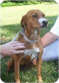 Beagle Mix Dog for adoption in Metamora, Indiana - Mirra