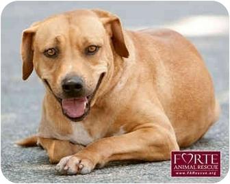 Labrador Retriever/Beagle Mix Dog for adoption in Marina del Rey, California - Lyma