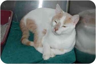 Domestic Shorthair Cat for adoption in Putnam Hall, Florida - Bruce
