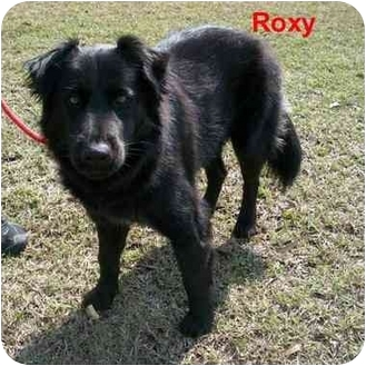 Retriever (Unknown Type)/Chow Chow Mix Dog for adoption in Slidell, Louisiana - Roxy