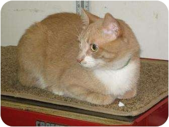Domestic Shorthair Cat for adoption in Oshkosh, Wisconsin - Frankie