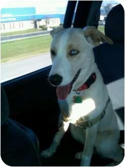 Husky Mix Puppy for adoption in Pickerington, Ohio - Jasmine