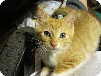 Domestic Shorthair Kitten for adoption in Coronado, California - Chelsea