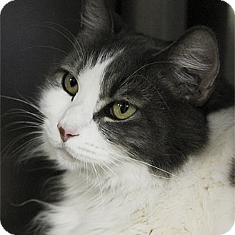 Domestic Longhair Cat for adoption in Stillwater, Oklahoma - Ivory