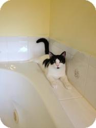 Domestic Shorthair Cat for adoption in Manahawkin, New Jersey - Koda
