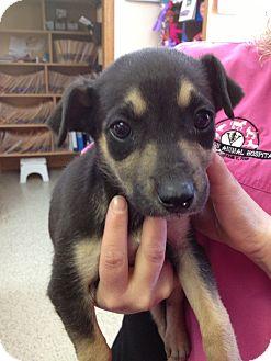 Hound (Unknown Type)/Australian Cattle Dog Mix Puppy for adoption in Stilwell, Oklahoma - March