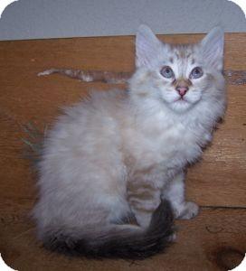 Ragdoll Kitten for adoption in Colorado Springs, Colorado - K-Whiskers5-Rizzo