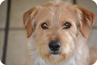 Cairn Terrier/Terrier (Unknown Type, Medium) Mix Dog for adoption in Redondo Beach, California - Benji- I am a people dog!