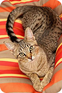 Domestic Shorthair Cat for adoption in Sterling Heights, Michigan - Graham