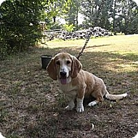 Adopt A Pet :: Dolly Madison - Danbury, CT