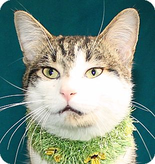 Domestic Shorthair Cat for adoption in Jackson, Michigan - Rocky