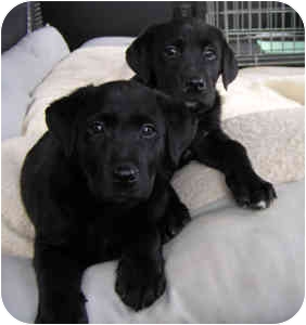 Labrador Retriever Mix Puppy for adoption in Chester, Maryland - Will & Gus