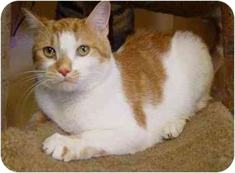 Domestic Shorthair Cat for adoption in New York, New York - Polera