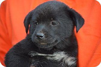 Labrador Retriever/Collie Mix Puppy for adoption in Woodlyn, Pennsylvania - Emma