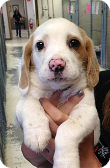 Beagle Mix Puppy for adoption in Greensburg, Pennsylvania - Freckles