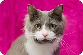 Domestic Shorthair Cat for adoption in Lowell, Massachusetts - Mr. Rogers