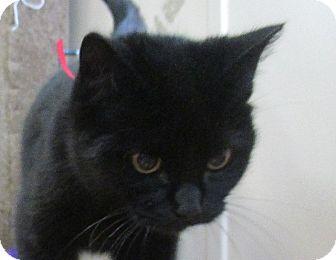 Domestic Shorthair Cat for adoption in Lloydminster, Alberta - Rosa