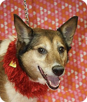 Border Collie/Fox Terrier (Smooth) Mix Dog for adoption in Jackson, Michigan - Foxy