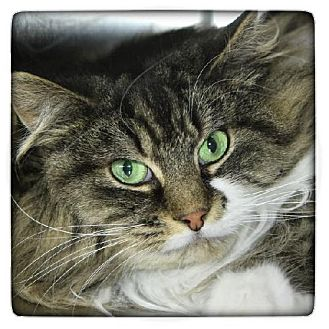 Domestic Longhair Cat for adoption in Salem, Massachusetts - Wanda